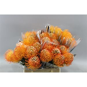 Protea Pincushion orange