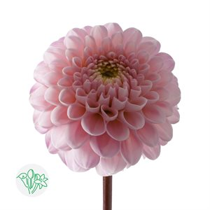 Dahlia Ball Wizard (10 / pqt)