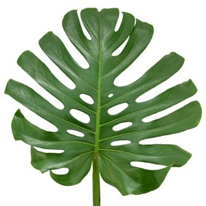 Monstera medium